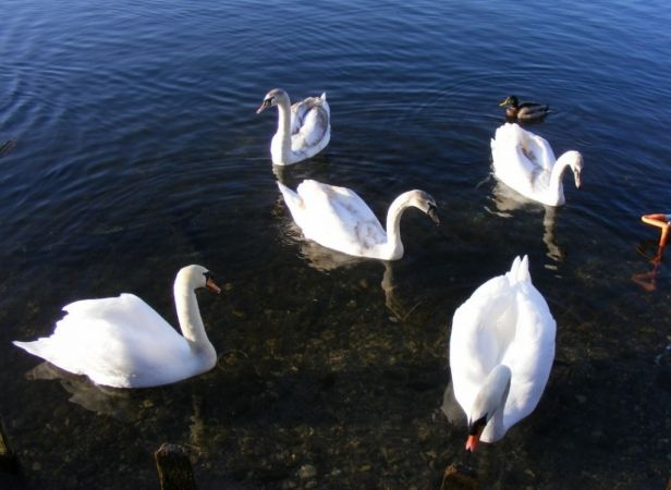police launch probe after dead swan found in andover lake