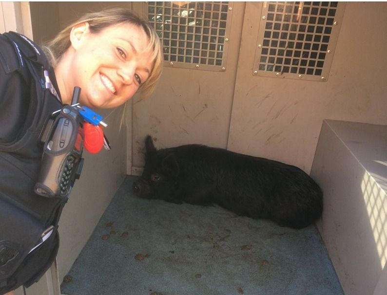 police-appeal-for-porkie-owner
