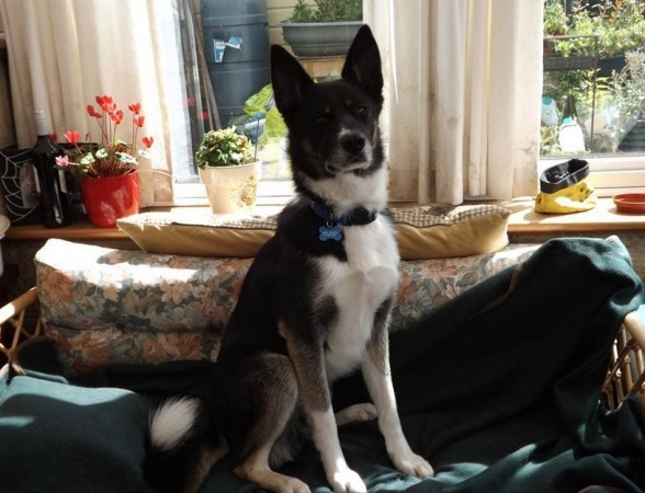 can you help find missing husky cross from the isle of wight