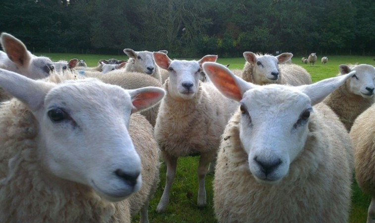 police appeal after sheep attacked in romsey