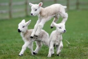 police investigate after newborn lambs killed in kingsclere