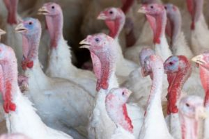 bird flu confirmed at commercial turkey farm near grimsby