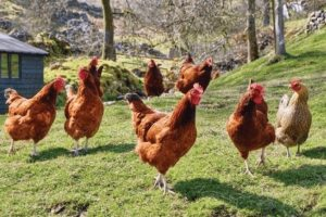 breakingavian flu confirmed at farm in lancashire