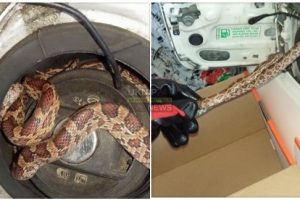 filling up the car will never be the same as snake is found in petrol cap