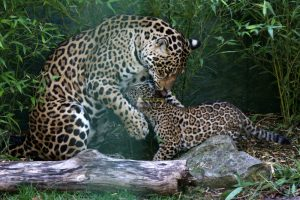 jaguar cub takes first steps outside at paradise wildlife park