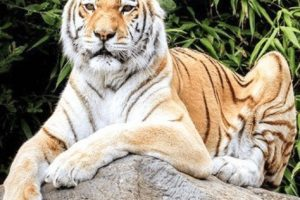 isle of wight zoo in mourning after passing of big cat zia