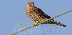 Charges For A Suspected Bird Thief From Snodland