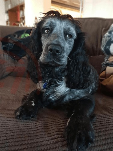 search for missing cocker spaniel after he jumps from moving car in chandlers ford