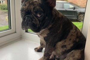 beloved french bulldog stolen by calice thief
