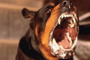 four year old child mauled by rottweiler in stockbridge