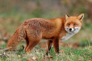 woman left with 700 vet bill after cat mauled by fox