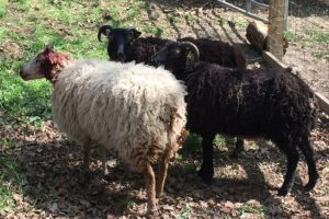 Four Teenagers Who Caused Serious Injuries To Sheep In Gosport Have Admitted The Offences