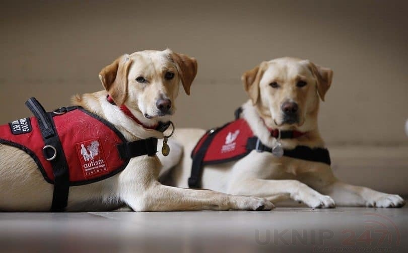 assistance dogs waiting 810x503 1