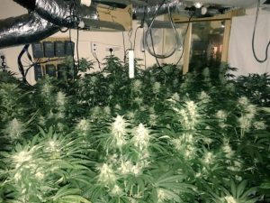 Flushed out: Police seize over  £20,000 worth of cannabis grow from flooded property in Wembley