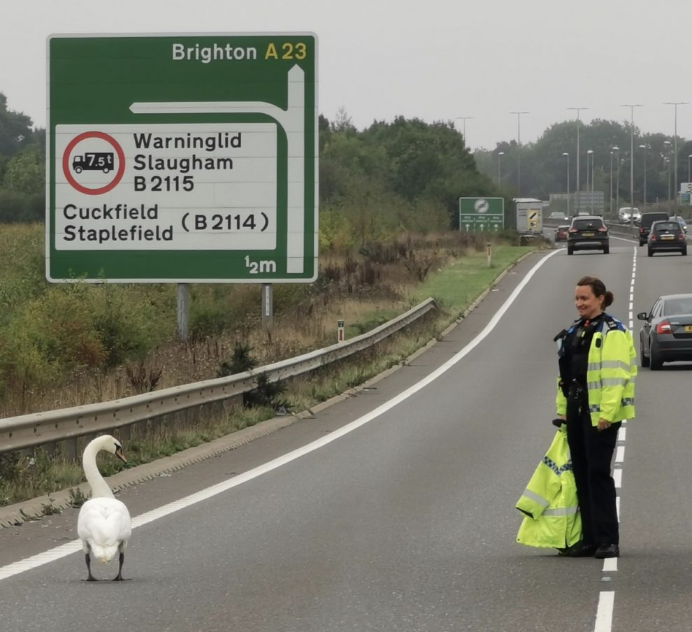 police on the a23 swanning around trying to remove a swan from the road all for the greater good
